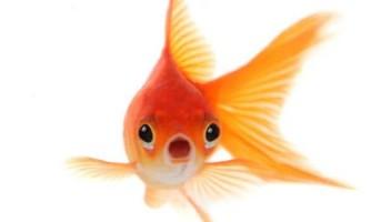 img_s_occuper_d_un_poisson_rouge_656_600